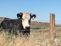 JLA cows